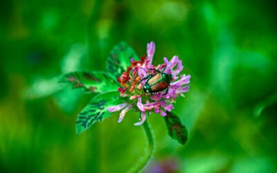 Japanese Beetles and a Generous Master